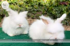 English Angora Rabbit Pair (3.5 months male and 2 months Female)