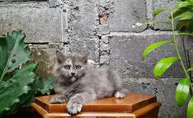 kucing persia medium betina dilute calico lucu