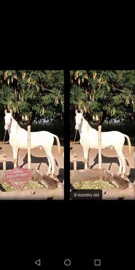 Pure white (Nukkra Ghora) 8 months old in Healthy condition