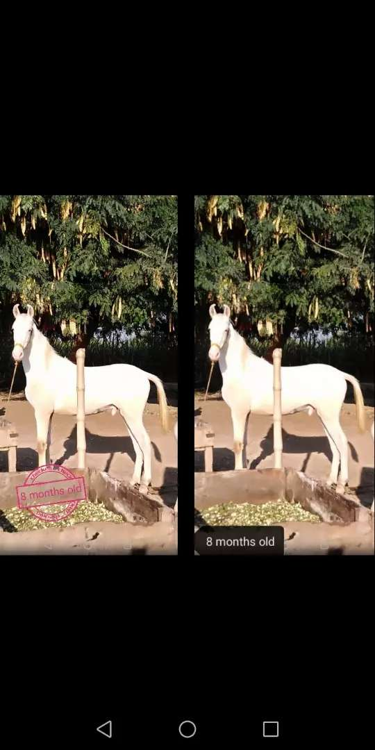 Pure white (Nukkra Ghora) 8 months old in Healthy condition 0