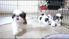 Pedigree cotton ball shihtzu pups available from imported parents
