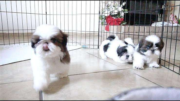 Pedigree cotton ball shihtzu pups available from imported parents 0