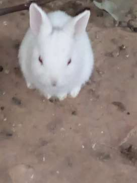 Pure white red ayes rabbits bunny