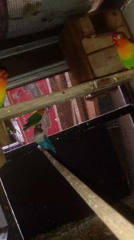 Burung love bird pasangan