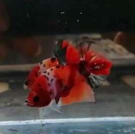 Ikan cupang koi copper