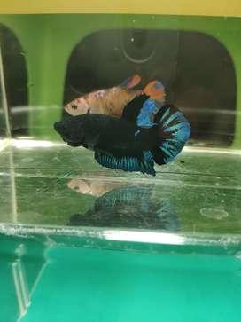 Cupang Avatar Blue Black