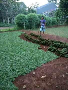 Petani rumput gajah mini hijau