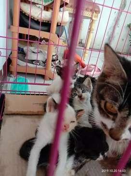 Bayi kucing persia mix