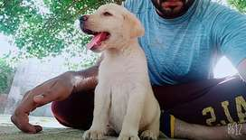 Labrador Pupps available for sale.