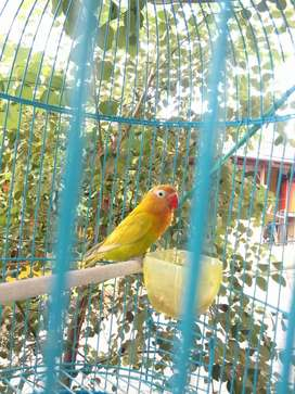 Lovebird paskun birahi