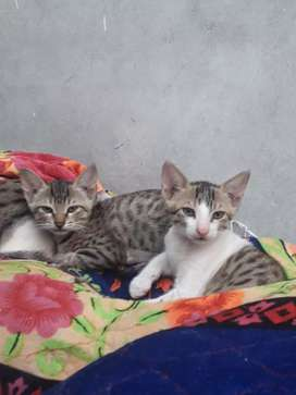 2 kitten baby cat for sale Just at Rs 0