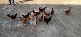 Hens Male For Sale