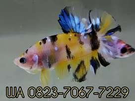 Ikan Cupang Hias #199