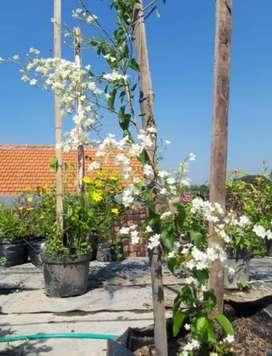 Bibit bunga porana volubilis/snow vine tinggi 50-100cm
