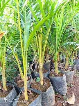 Jual tanaman hias bibit palem kuning