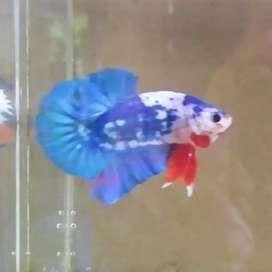 Ikan cupang HMPK marble panda