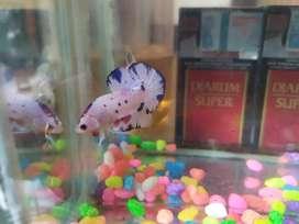 Ikan hias umur 3bulan
