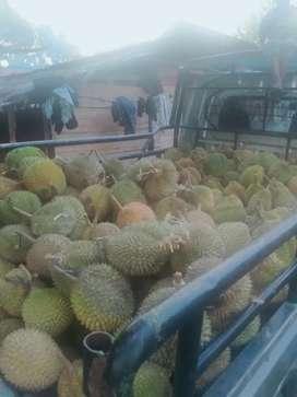 Durian medan sibolga