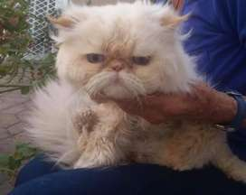 Persian cat male for stud service only