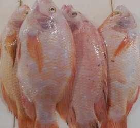 Jual ikan nila konsumsi