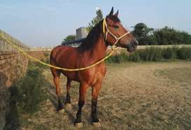 Heavy breed mare