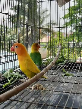 lovebird paskun x fiser