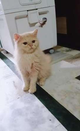 Golden perician kitten