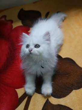 Long coat kitten available for sale Persian cat