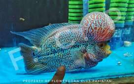 Exhibition Grade Flower Horn Fish Male