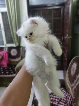 Pure persian kitten's male female available