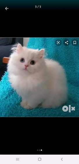 Persian cats for sell..