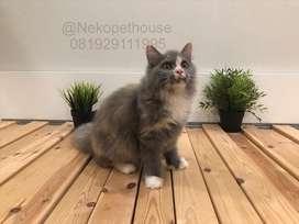 Kucing Persia Flatnose Calico Bigbone Kitten