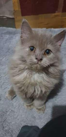 Kucing anggora Bali