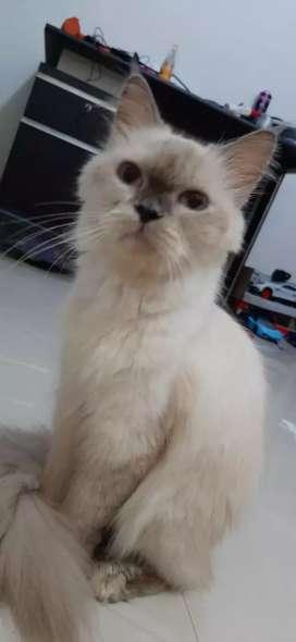 Kucing Persia himalaya Betina Dewasa