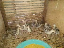 Anak Ayam Kalkun