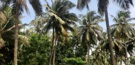 Pollachi to coimbatore road 6km coconut farm land &agriculture land