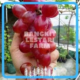 JUAL Pohon Anggur Merah Terjangkau