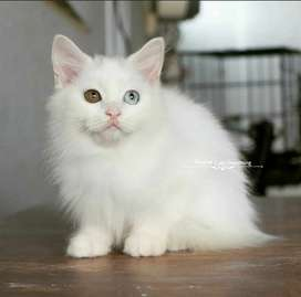 Kucing Betina Persia Putih Odd Eyes