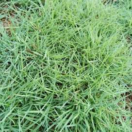 Tanaman rumput swis