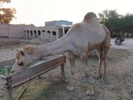 Camels males 02