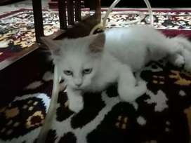 Blue eyes fully vaccinated persian kitten