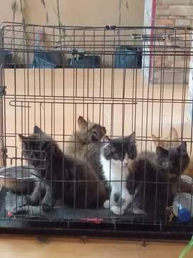 Over adopt, kitten Kucing Persia umur 2 bulan, ada 5 ekor