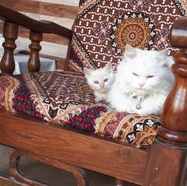 Kitten and Cat for sale