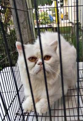 Jasa Pemacakan kucing Persia