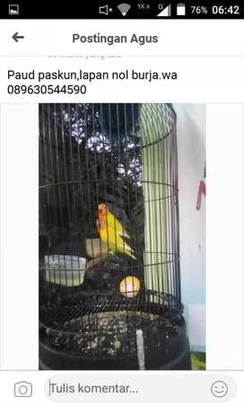 Lovebird paskun paud