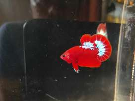 Ikan Cupang Hellboy Jantan (101)