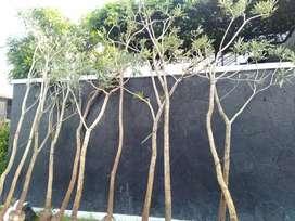 Di jual murah pohon tabebuya tinggi 4meter