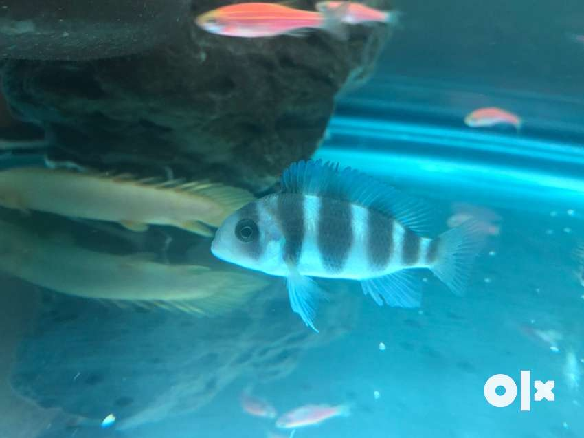 frontosa fish for sale. 0