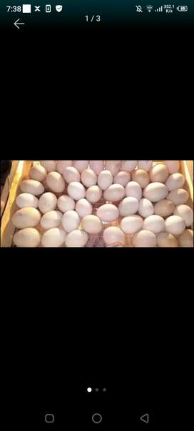 Australorp k eggs for sale