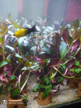 Tanaman aquascape ludwigia sp red